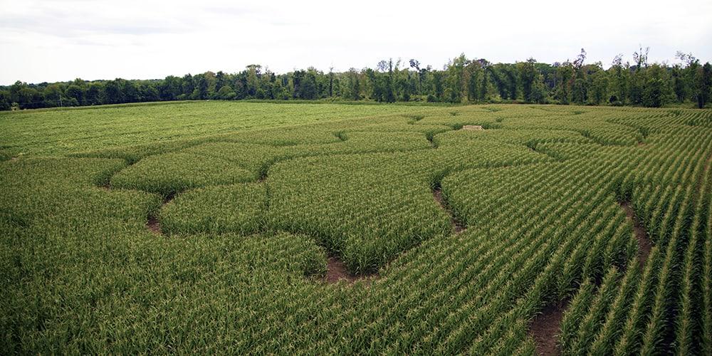 Corn Maze open Weekends!